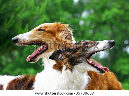 Two Russian wolfhounds portraits - stock photo