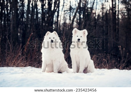 Two Samoyed dogs - stock photo