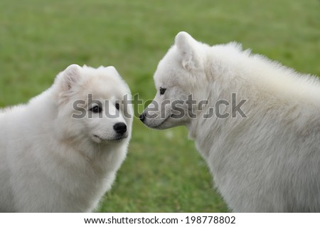 Two samoyed dogs, making the acquaintance of each other - stock photo