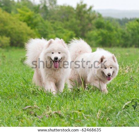 Two samoyed dogs on a meadow - stock photo
