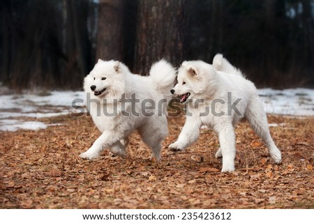 Two Samoyed dogs playing - stock photo
