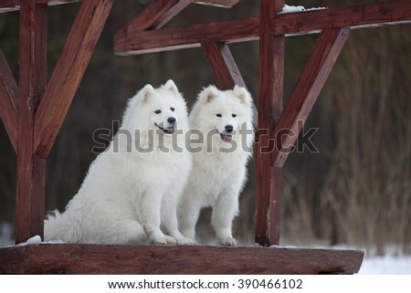 Two Samoyed husky sitting in the snow.