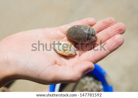 Two sand fleas, sand crabs on the children's hands.  Emerita talpoida - Atlantic Mole Crab