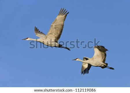 Two sandhill cranes flying against clear sky - stock photo