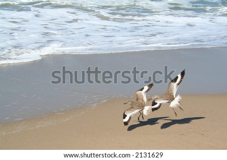 Two sandpiper birds flying in tandem on the beach. - stock photo