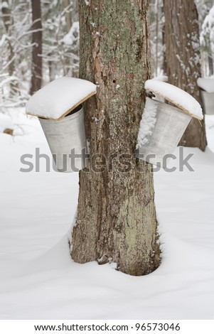 Two Sap Pails on Maple Tree - stock photo