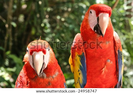 Two Scarlet Macaw Parrots - stock photo