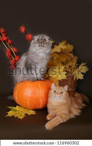 Two Scottish cat with autumn leaves - stock photo