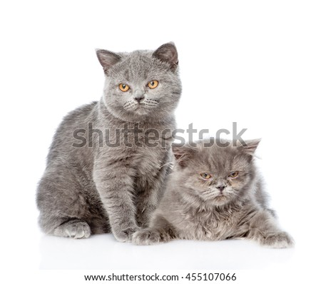 Two Scottish cats sitting together. isolated on white background - stock photo