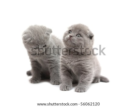 two Scottish Fold kittens , iolated on white