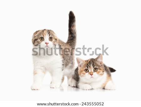Two Scottish highland kittens with white on white background