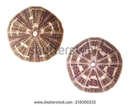 Two Sea Urchins Isolated on White Background - stock photo