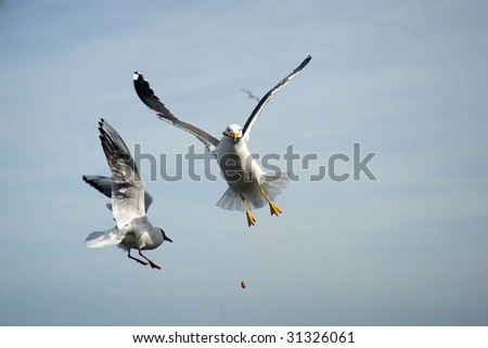 two seagulls catching bread