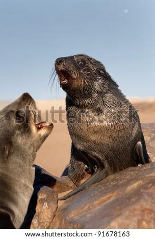 Two seals barking (Arctocephalus pusillus) - stock photo