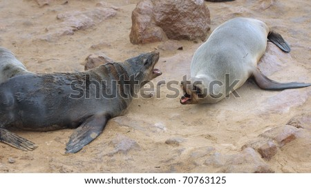 Two seals fighting at the beach. Cape Cross Seal Reserve, Namibia - stock photo