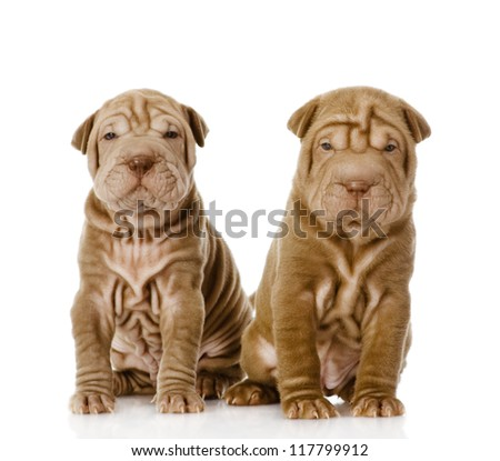 two shar pei puppies looking at camera. isolated on white background - stock photo