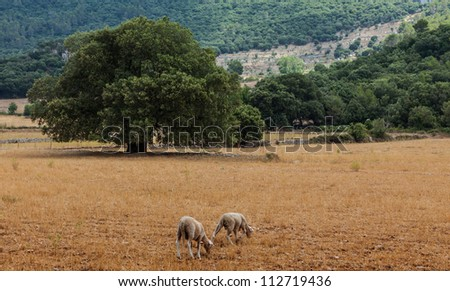 Two sheep grazing in an arid field, close to various mediterranean trees in Mallorca in Balearic Islands,Spain. - stock photo