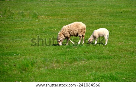Two sheep grazing in the meadow - stock photo