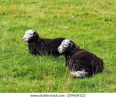 Two Sheep on grass