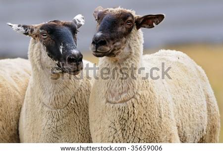 Two Sheep (Ovus aries) - focus on left sheep head - stock photo