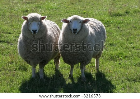 two sheep standing in green pasture / paddock with sunlight on their backs