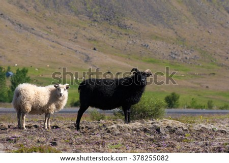Two sheep standing on a rocks. Icelandic landscape background.