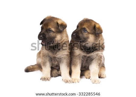two sheepdogs puppies are isolated on white background