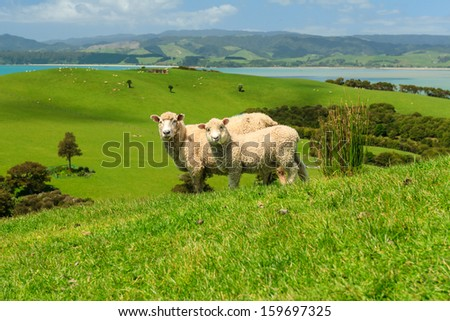 Two Sheeps on Green Field of the Pacific Sea Coast, Duder Regional Park, Auckland Region, New Zealand