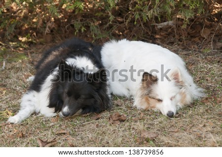 Two Shetland sheepdog tri-color sleeping on the grass - stock photo