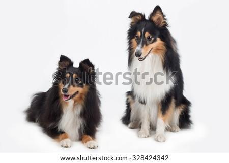 two Shetland Sheepdogs, isolated on white studio - stock photo