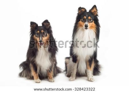 two Shetland Sheepdogs sitting, isolated on white studio background - stock photo