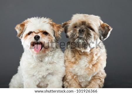 Two shih tzu dogs isolated on grey background. Studio shot. - stock photo