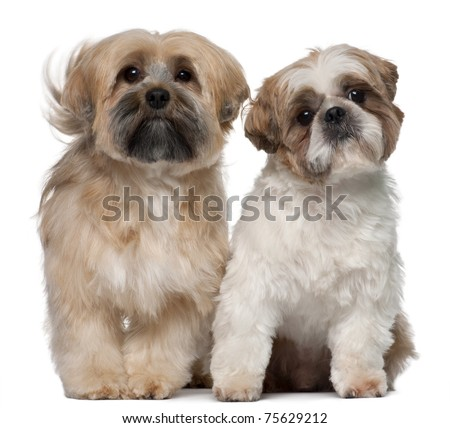 Two Shih Tzu's, 2 years old, sitting in front of white background - stock photo
