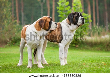 Two short-haired saint bernard dogs standing on the lawn - stock photo