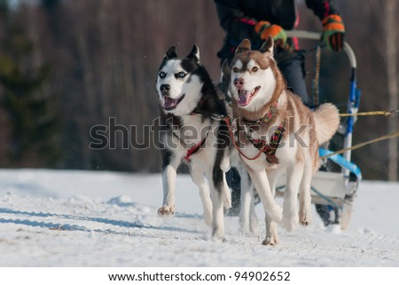 two siberian huskies in a sled dog race - stock photo