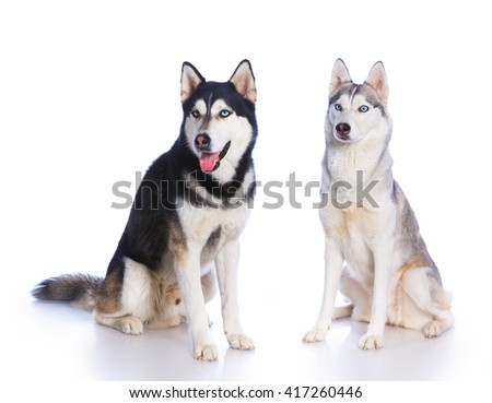 Two Siberian huskies sitting on a white background