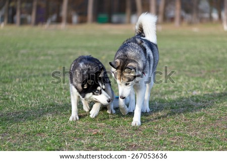 Two Siberian Husky is strolling next to each other. Black Siberian Husky is pressed to the ground while walking. Husky, which is located on the right, dominates over black dog.