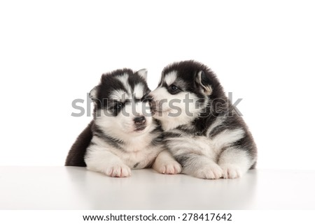 Two siberian husky puppies staying with front feet  and kissing on white table isolated - stock photo
