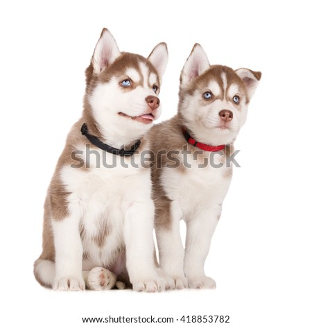 two siberian husky puppies together on white