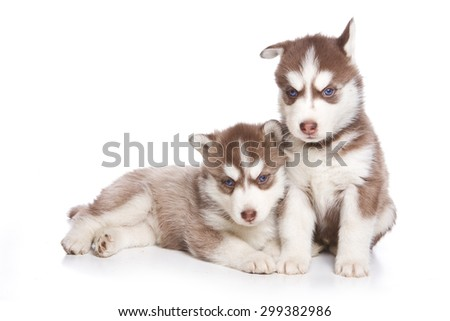 Two Siberian husky puppy sitting and looking at the camera (isolated on white) - stock photo