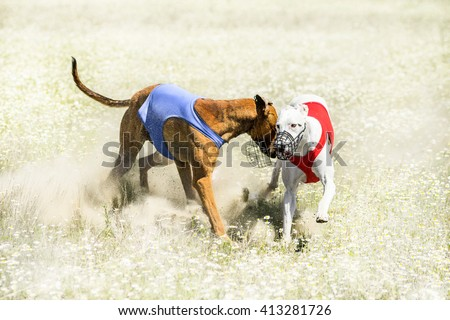 Two Sighthounds on a finish of lure coursing competition - stock photo