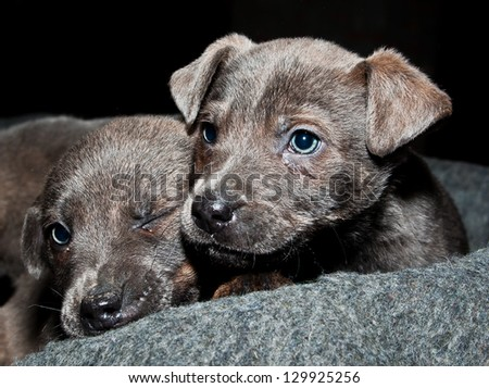Two silver puppies - stock photo
