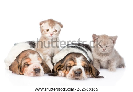 Two sleeping basset hound puppies with kittens. Focus on cat. isolated on white background - stock photo