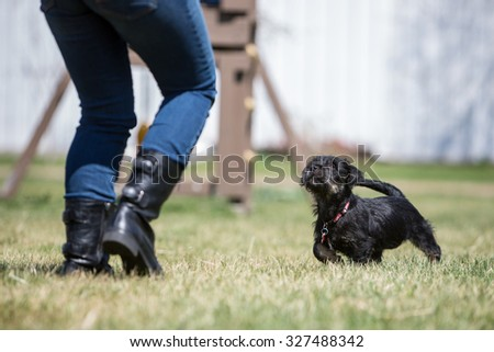Two small black puppies playing with a toy at a farm