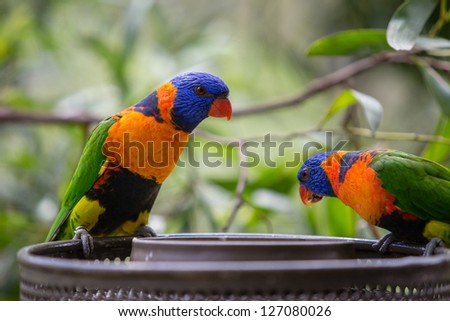 two small colorfull parrots feeding - stock photo