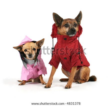 two small dogs dressed up in jackets - stock photo