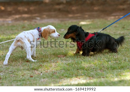 Two small dogs sniff and check each other out - stock photo