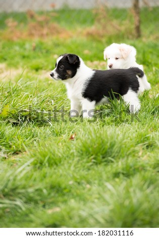 Two Small Fluffy Puppies Playing Outside on Green Grass - stock photo