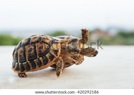 two small green turtles that rolling together - stock photo