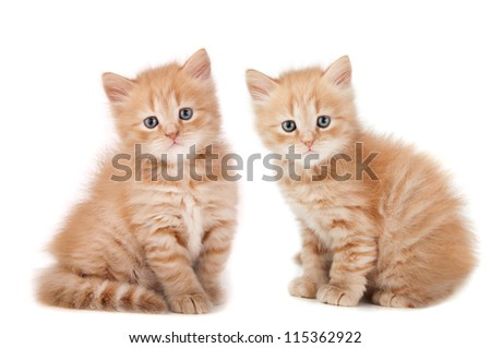 two small kittens looking isolated on a white background - stock photo